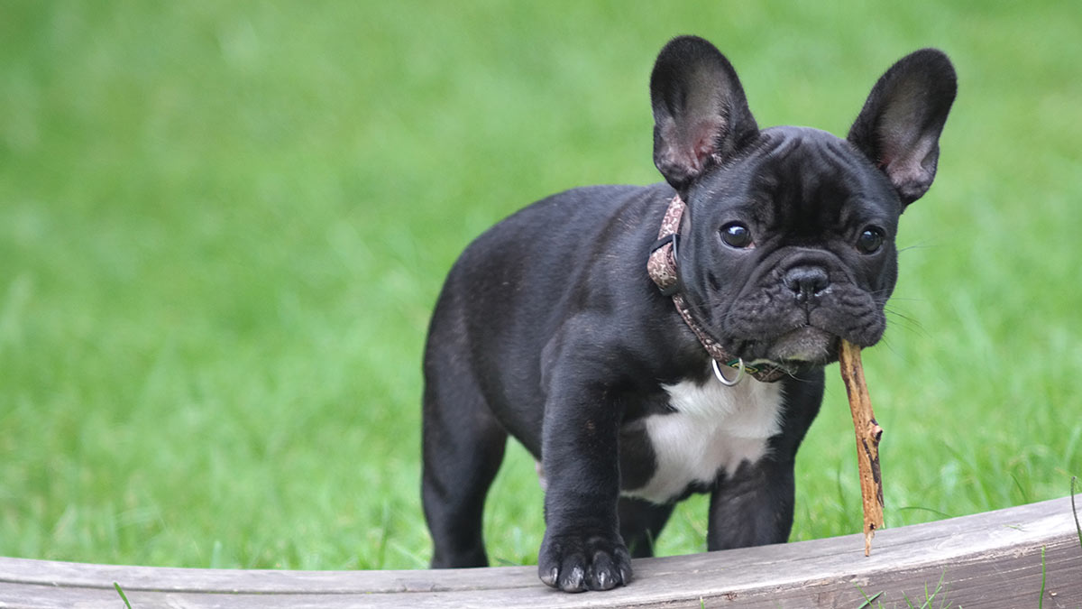 french bulldog puppy with stick outdoors